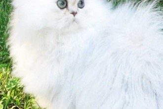 persian cat personality in Primates
