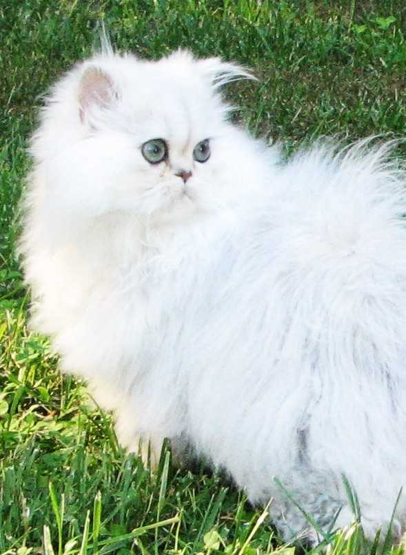 Cat , 7 Cool Persian Cat Characteristics : Persian Cat Personality