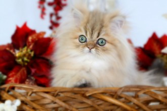 Persian Cat Pictures , 8 Cool Teacup Persian Cat Price In Cat Category