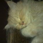 persian cat price image , 8 Lovely Persian Cat Prices In Cat Category