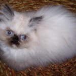 persian cat show , 5 Best Himalayan Persian Cat For Sale In Cat Category