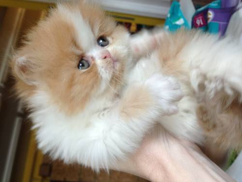 Price of a white persian cat