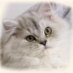 persian cat yellow eyes , 8 Cute Persian Cat Behavior In Cat Category
