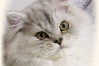 persian cat yellow eyes in Dog