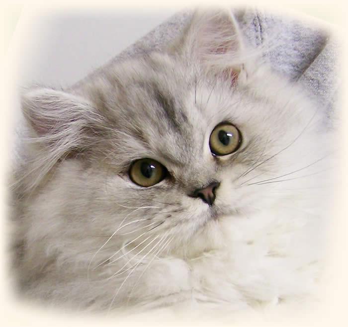Cat , 8 Cute Persian Cat Behavior : Persian Cat Yellow Eyes