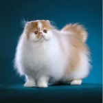 persian cat , 7 Charming Persian Cat Price Range In Cat Category