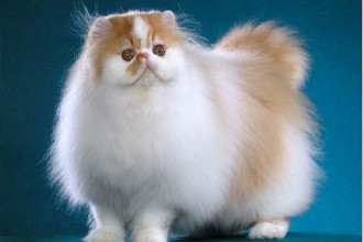 persian cat in Decapoda