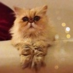 persian cat , 8 Charming Persian Cats Rescue In Cat Category