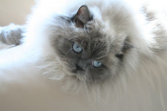 persian cat in pisces