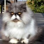 persian cat , 7 Cute Persian Cat Lifespan In Cat Category