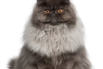 Persian Cat , 9 Good Do Persian Cats Shed In Cat Category