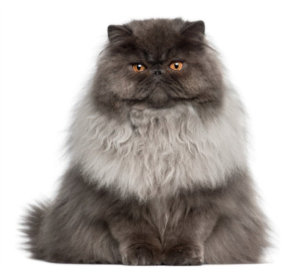Cat , 9 Good Do Persian Cats Shed : Persian Cat