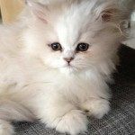 persian cat , 7 Charming Chinchilla Persian Cats In Cat Category