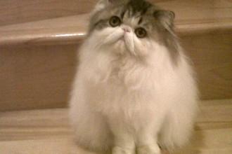 Persian Cats , 8 Cute Grooming A Persian Cat In Cat Category