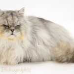 persian cats for sale uk , 9 Charming Chinchilla Persian Cat In Cat Category