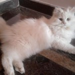 persian cats for sale , 8 Beautiful Persian Names For Cats In Cat Category