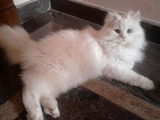 Persian cat to sale