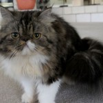 persian cats names , 6 Good Persian Cats San Antonio In Cat Category