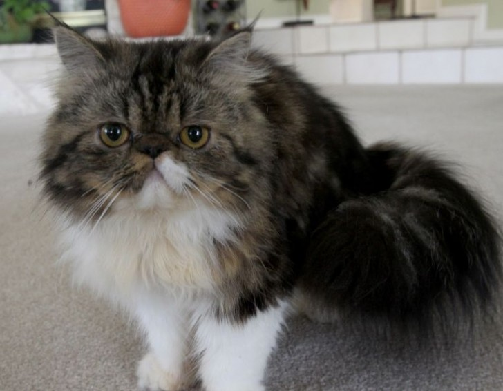 Cat , 6 Good Persian Cats San Antonio : Persian Cats Names