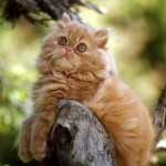 persian cats pictures , 9 Awesome Types Of Persian Cats In Cat Category