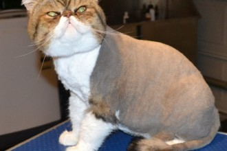 Persian Cats , 9 Good Grooming Persian Cats In Cat Category