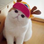 persian cats , 8 Cute Persian Cat Behavior In Cat Category