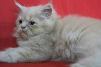 Persian Cats , 8 Cool Adopt A Persian Cat In Cat Category