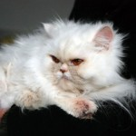 persian cats , 5 Nice Persian Cat Personality In Cat Category