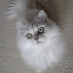persian cats , 7 Cute Persian Cat Lifespan In Cat Category
