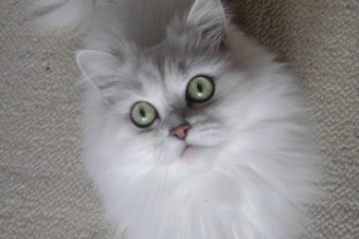 Persian Cats , 7 Cute Persian Cat Lifespan In Cat Category