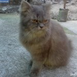 persian cats , 6 Lovely Miniature Persian Cats For Sale In Cat Category
