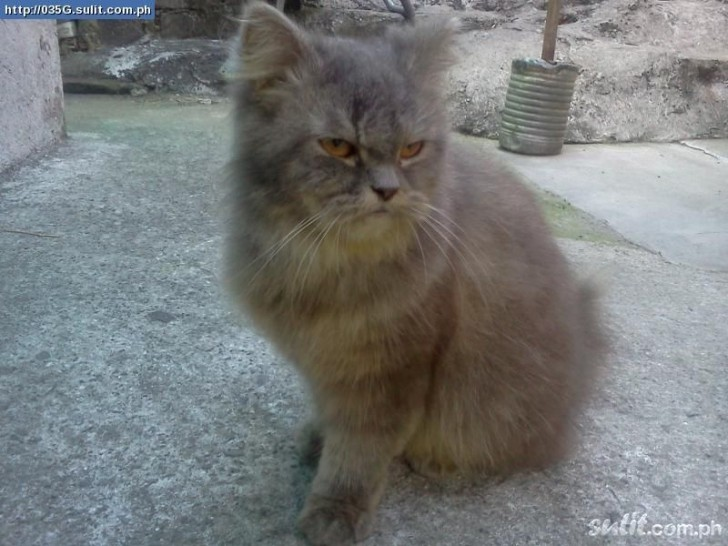Cat , 6 Lovely Miniature Persian Cats For Sale : Persian Cats