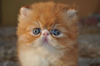Persian Cats , 9 Lovely Persian Cat Eye Problems In Cat Category