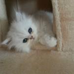 persian chinchilla kittens , 7 Charming Chinchilla Persian Cats In Cat Category