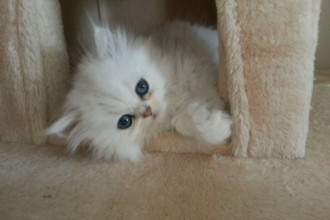 Persian Chinchilla Kittens , 7 Charming Chinchilla Persian Cats In Cat Category
