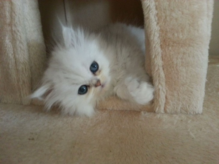 Cat , 7 Charming Chinchilla Persian Cats : Persian Chinchilla Kittens