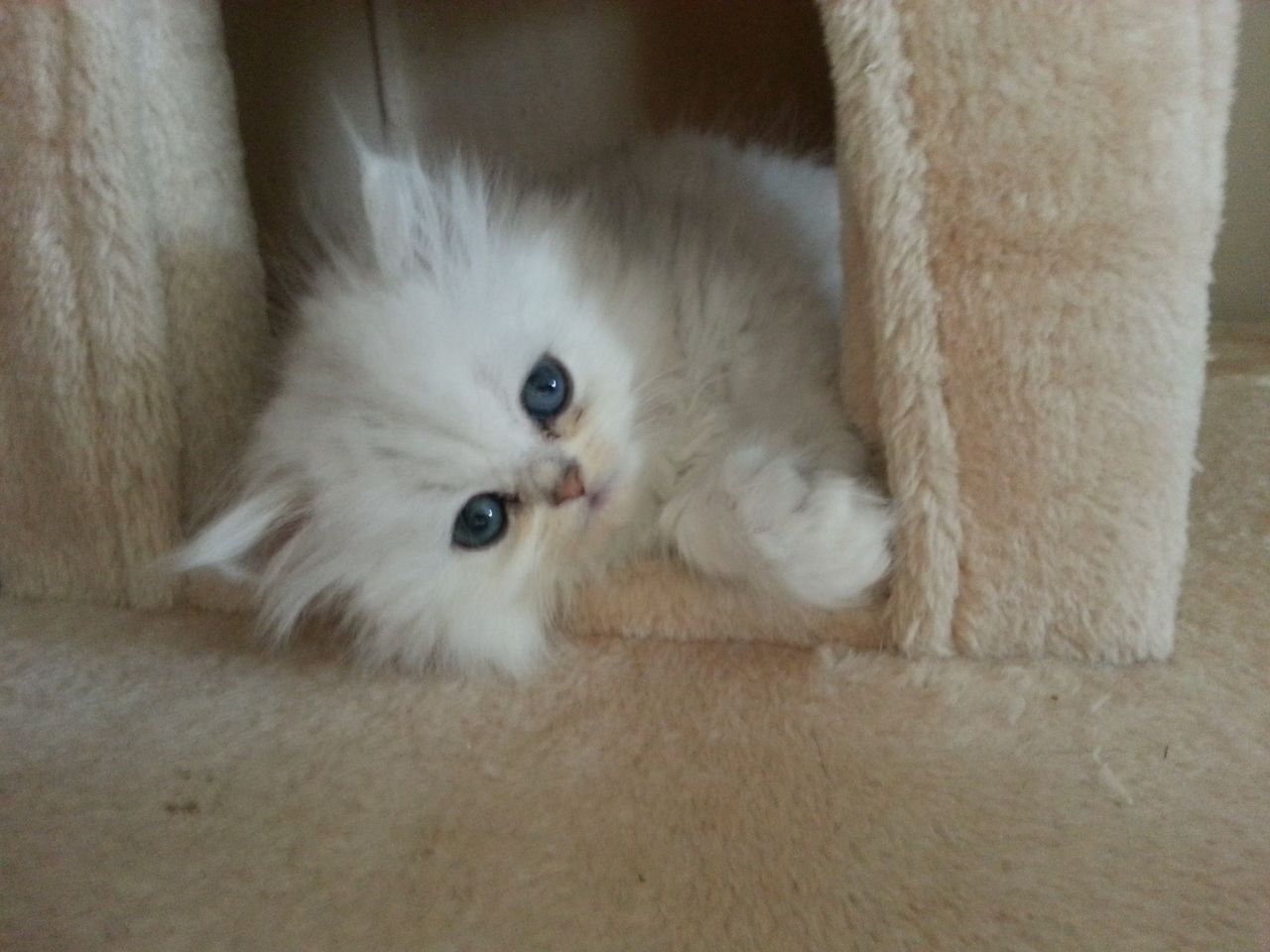 Persian Chinchilla Kittens 7 Charming Chinchilla Persian Cats
