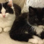 persian cross kittens , 9 Fabulous Persian Cats And Allergies In Cat Category