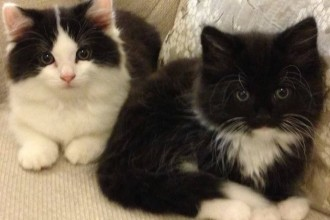 Persian Cross Kittens , 9 Fabulous Persian Cats And Allergies In Cat Category