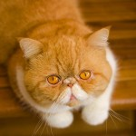 persian exotic shorthair , 7 Cute Persian Shorthair Cat In Cat Category