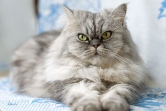 persian grey in Cat
