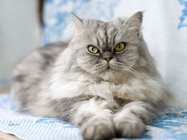 Cat , 8 Nice Persian Cat Shedding : Persian Grey