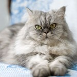 persian grey , 9 Good Do Persian Cats Shed In Cat Category
