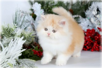 Persian Himalayan , 8 Cool Teacup Persian Cat Price In Cat Category