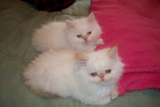 Persian cats rescue los angeles
