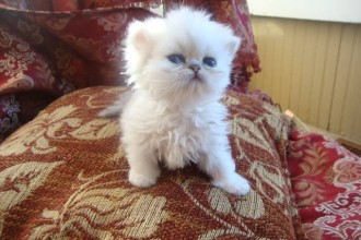 Persian Himalayan Cat , 9 Lovely Persian Cats For Sale In Indiana In Cat Category