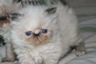persian himalayan kittens in Laboratory
