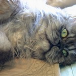 persian kitten , 10 Fabulous Persian Cat Rescue California In Cat Category