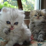 persian kitten breeders , 8 Lovely Persian Cat Breeders In Cat Category
