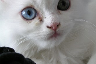 Persian Kitten Shoshi , 9 Nice Persian Cat Eye Care In Cat Category